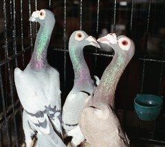 В зоопарке пройдет выставка домашних голубей